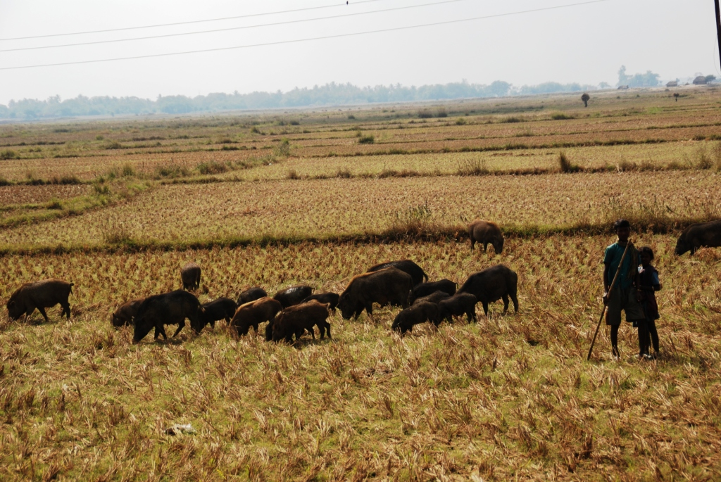 The nomadic pigherds search the harvested paddy fields for left over rice corns and other goodies