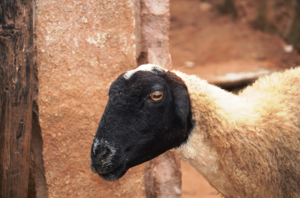 Boti sheep - tubular ears