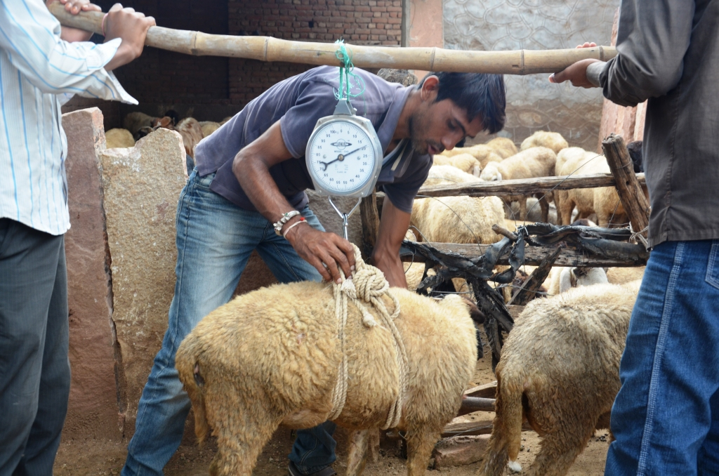weighing Boti sheep
