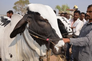 Deoni bullock on show at Malegaon fair