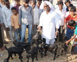 Osmanabadi goat bounty