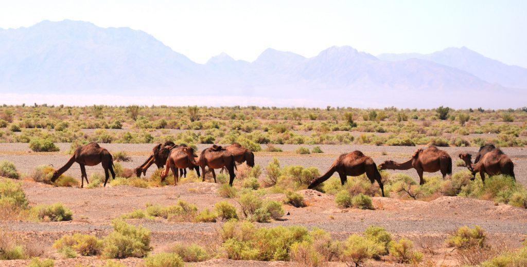 camels in Torut