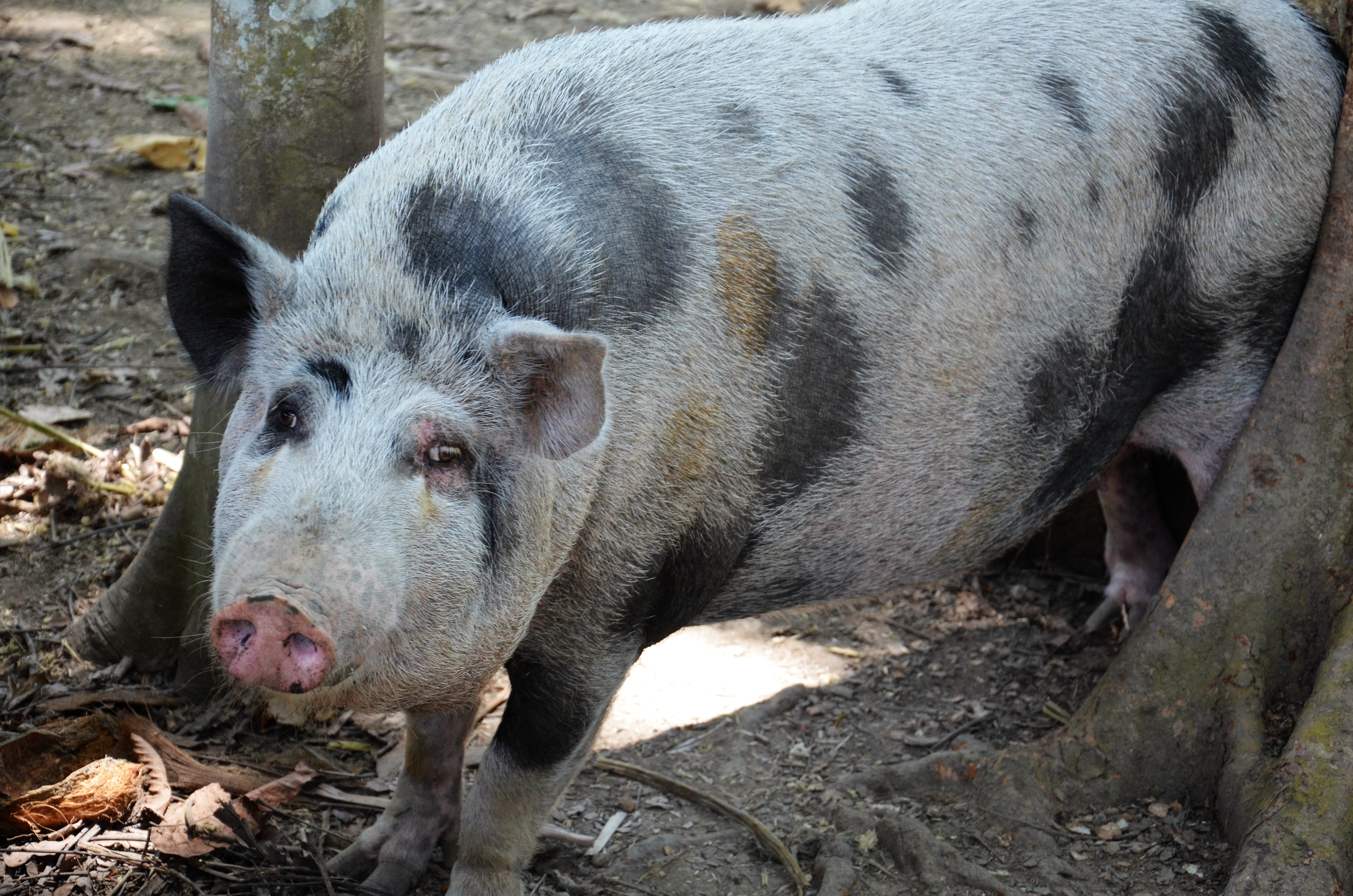 Decide which is best approach. conventional or alternative production systems of pigs?