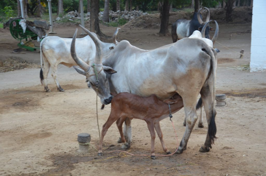 One of the Kangayam cows conserved at the Sivasenaapathy Kangayam Cattle Research Foundation