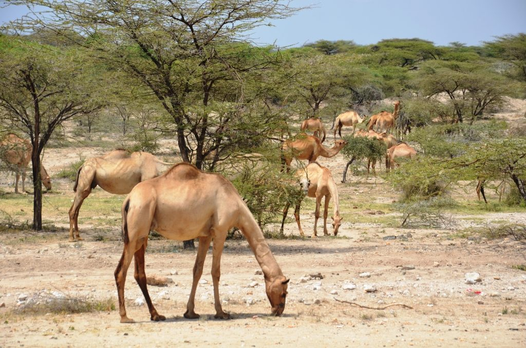Not suffering from the current drought: Camels in perfect hump near Isiolo