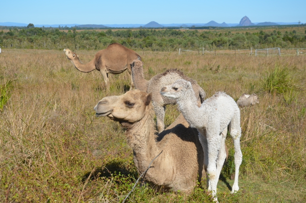 ebafcedeeec Out of Australia (2)  Camel dairying – a kinder approach to milk ...