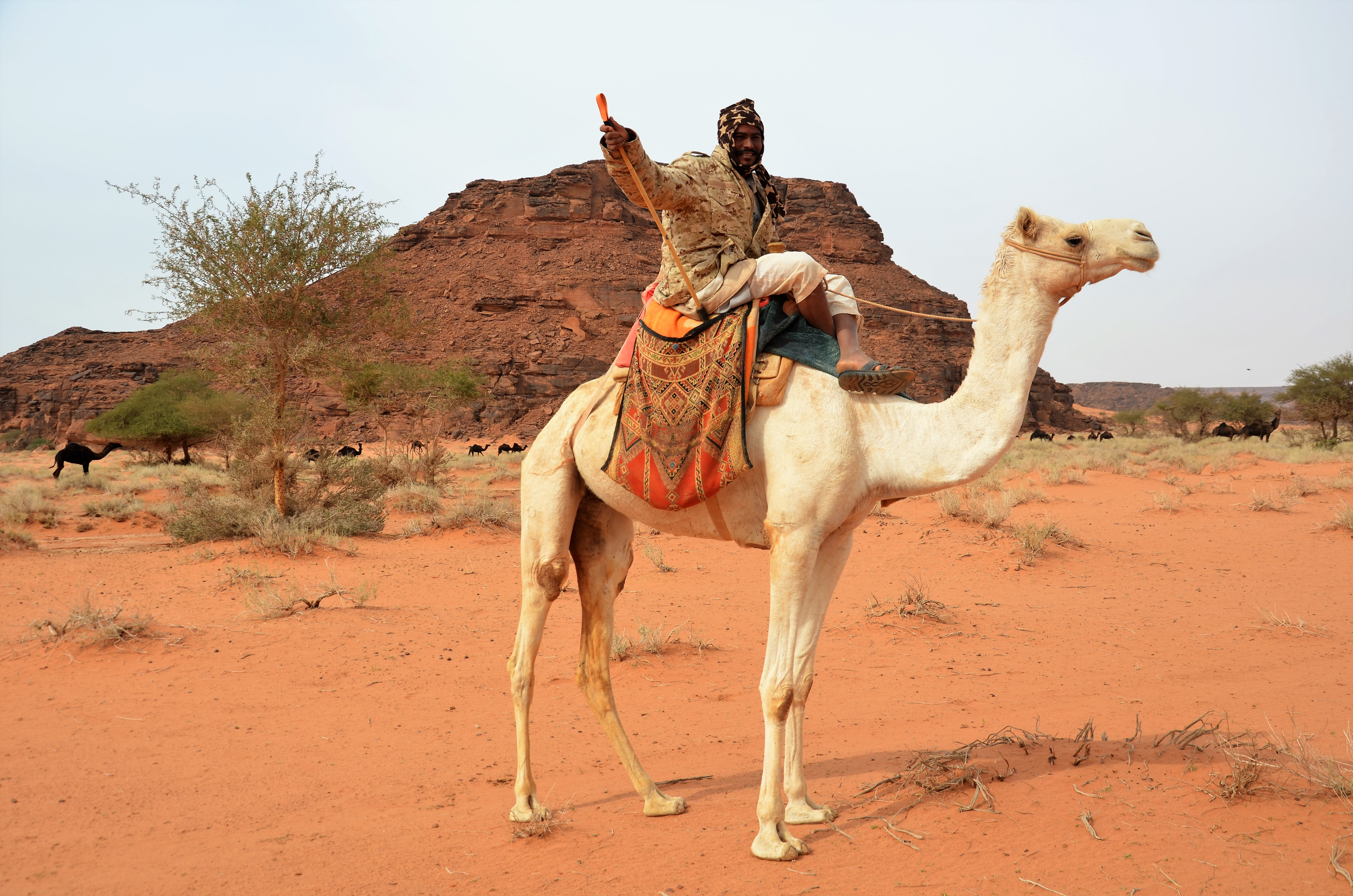 4e279464c7 A brief encounter with the camel culture of Saudi Arabia – and how camels  replaced cattle during climate change some 5000 years ago